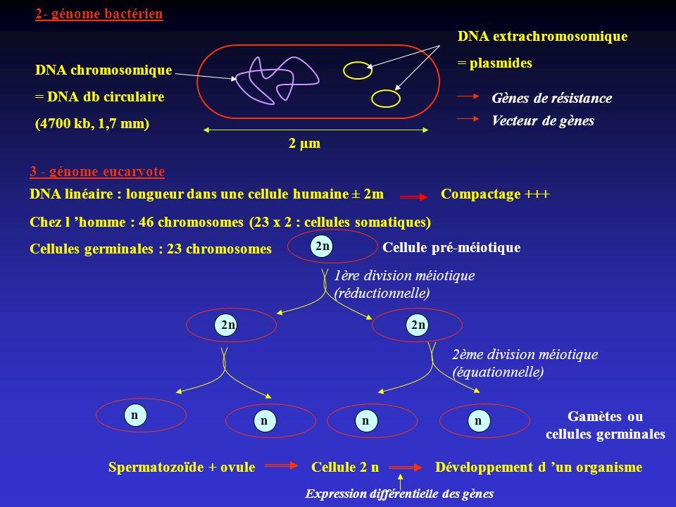 2- génome bactérien DNA chromosomique = DNA db circulaire (4700 kb, 1,7 mm) 2 µm DNA extrachromosomique = plasmides 3 - génome eucaryote Gènes de rési