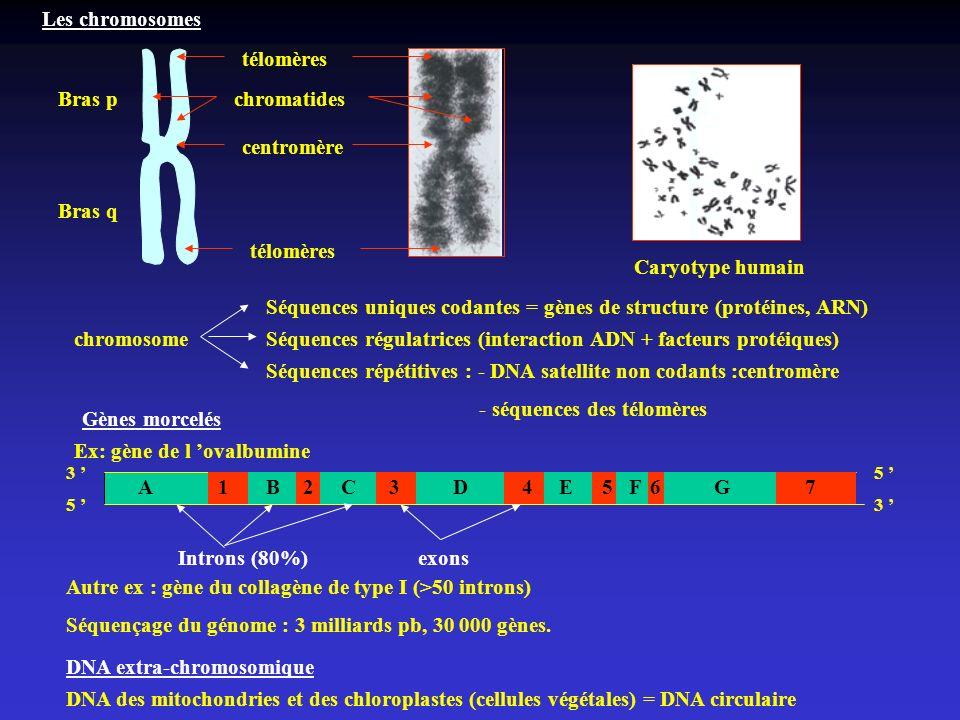 Les chromosomes Bras p Bras q télomères centromère Caryotype humain chromatides chromosome Séquences uniques codantes = gènes de structure (protéines,