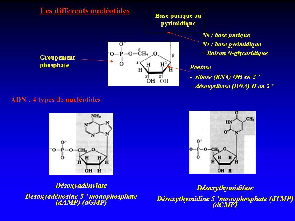 Les différents nucléotides Base purique ou pyrimidique N 9 : base purique N 1 : base pyrimidique = liaison N-glycosidique Pentose - ribose (RNA) OH en
