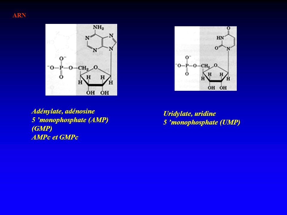 ARN Adénylate, adénosine 5 monophosphate (AMP) (GMP) AMPc et GMPc Uridylate, uridine 5 monophosphate (UMP)