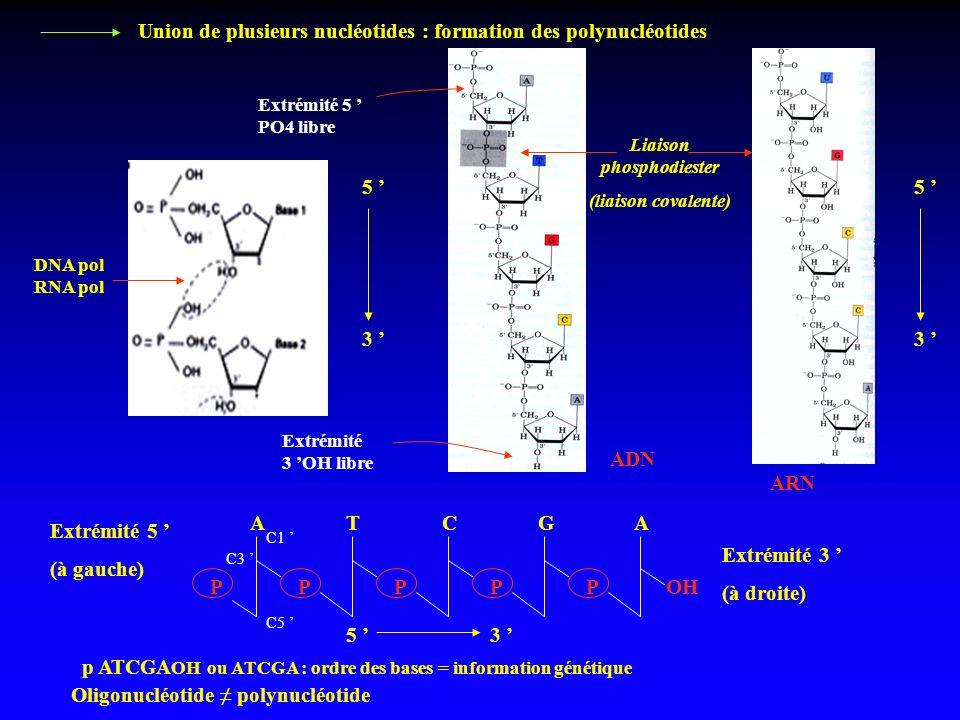5 3 ADN ARN Liaison phosphodiester (liaison covalente) Extrémité 5 PO4 libre Extrémité 3 OH libre 5 3 ATCGAATCGA PPPPPOH Extrémité 5 (à gauche) Extrém