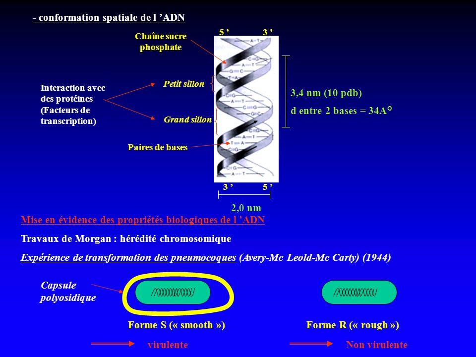 - conformation spatiale de l ADN Grand sillon Petit sillon Paires de bases Chaîne sucre phosphate 5 3 3 5 3,4 nm (10 pdb) d entre 2 bases = 34A° 2,0 n