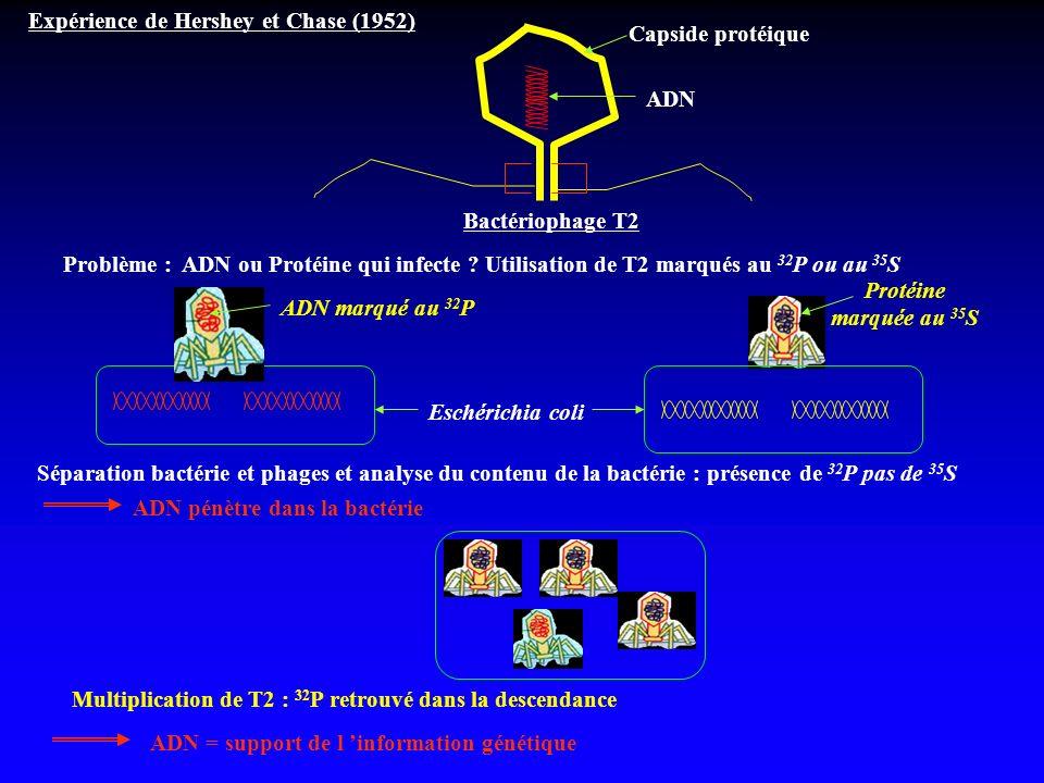 Expérience de Hershey et Chase (1952) Bactériophage T2 Capside protéique ADN Problème : ADN ou Protéine qui infecte ? Utilisation de T2 marqués au 32