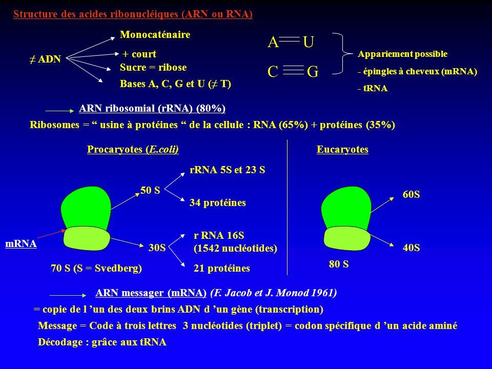 Structure des acides ribonucléiques (ARN ou RNA) ADN Monocaténaire + court Sucre = ribose Bases A, C, G et U ( T) A U C G Appariement possible - éping
