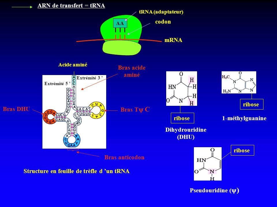 ARN de transfert = tRNA mRNA codon AA tRNA (adaptateur) Structure en feuille de trèfle d un tRNA Bras DHU Bras acide aminé Bras T C Bras anticodon rib