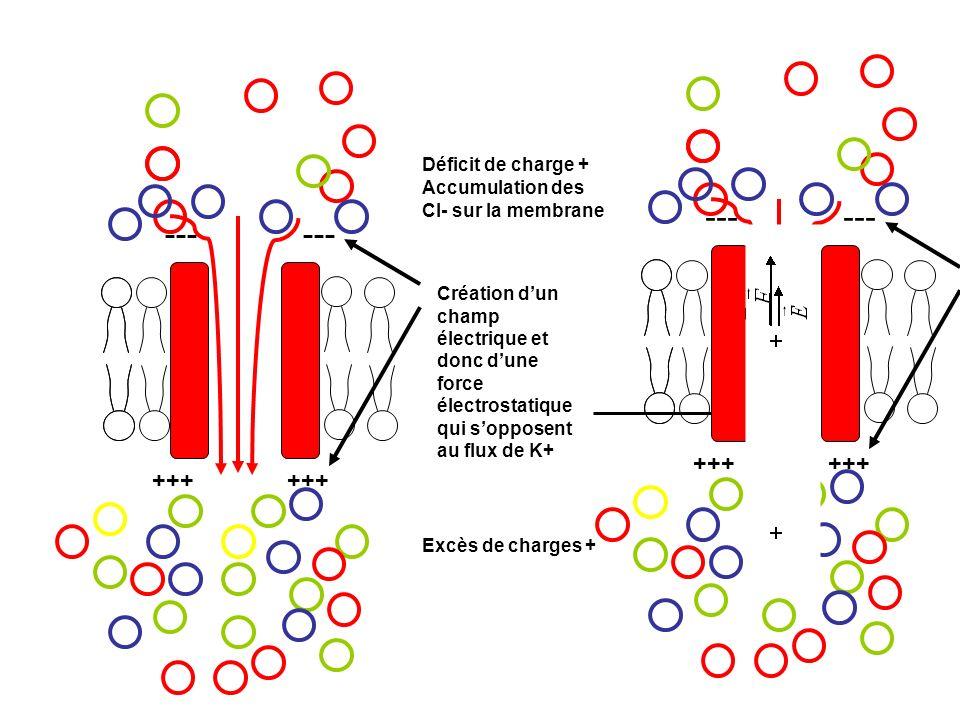 --- +++ +++ Déficit de charge + Excès de charges + Création dun champ électrique et donc dune force électrostatique qui sopposent au flux de K+ Accumu