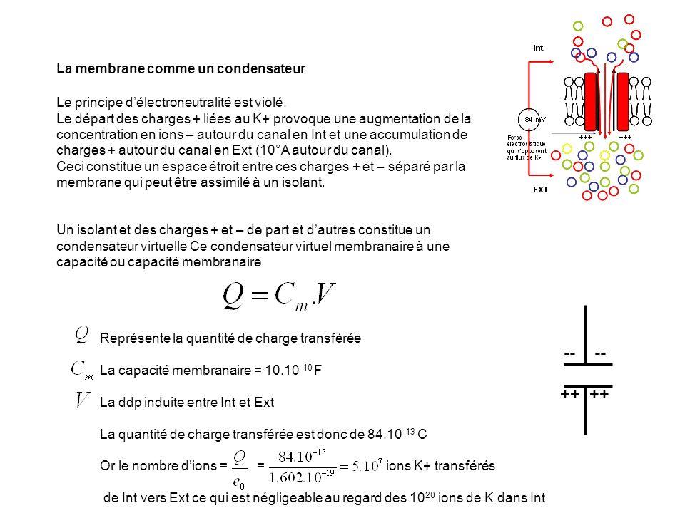 La membrane comme un condensateur Le principe délectroneutralité est violé. Le départ des charges + liées au K+ provoque une augmentation de la concen