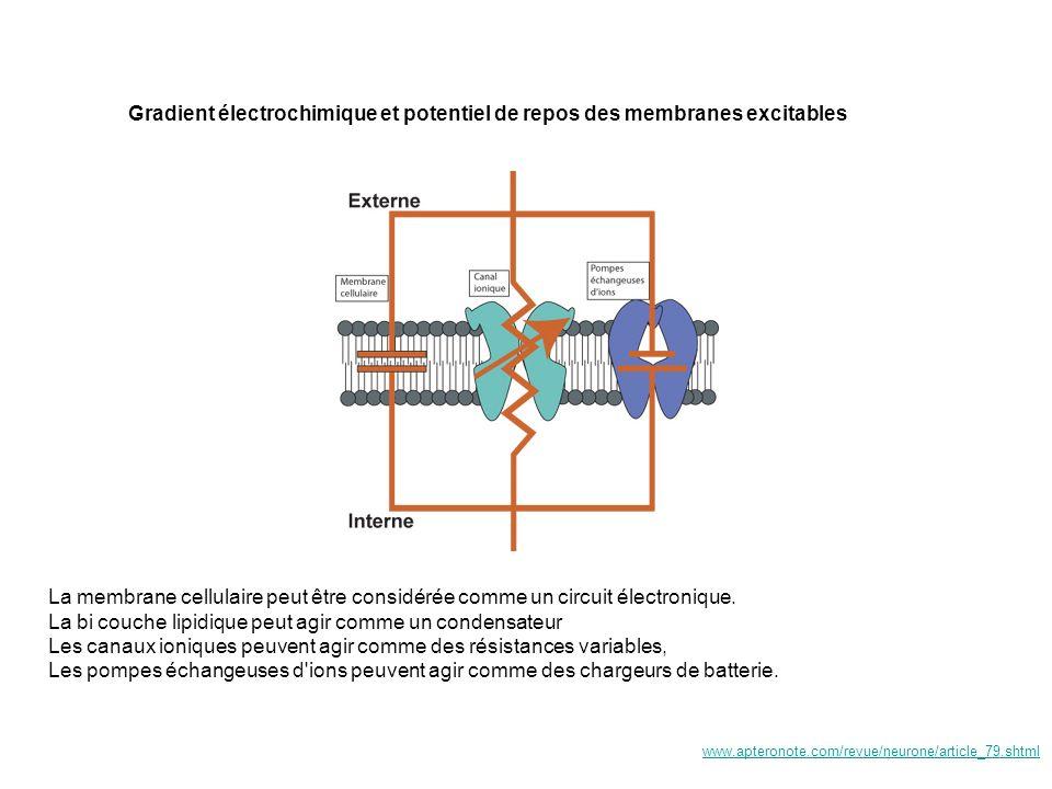 Notion de Variation du potentiel de membrane Lorsque le potentiel de membrane se déplace vers des valeurs plus négative on dit que la cellule shyperpolarise Lorsque le potentiel de membrane se déplace vers des valeurs plus positive on dit que la cellule se dépolarise +58 0 -60 -84 Potentiel de repos t Hyperpolarisation Dépolarisation