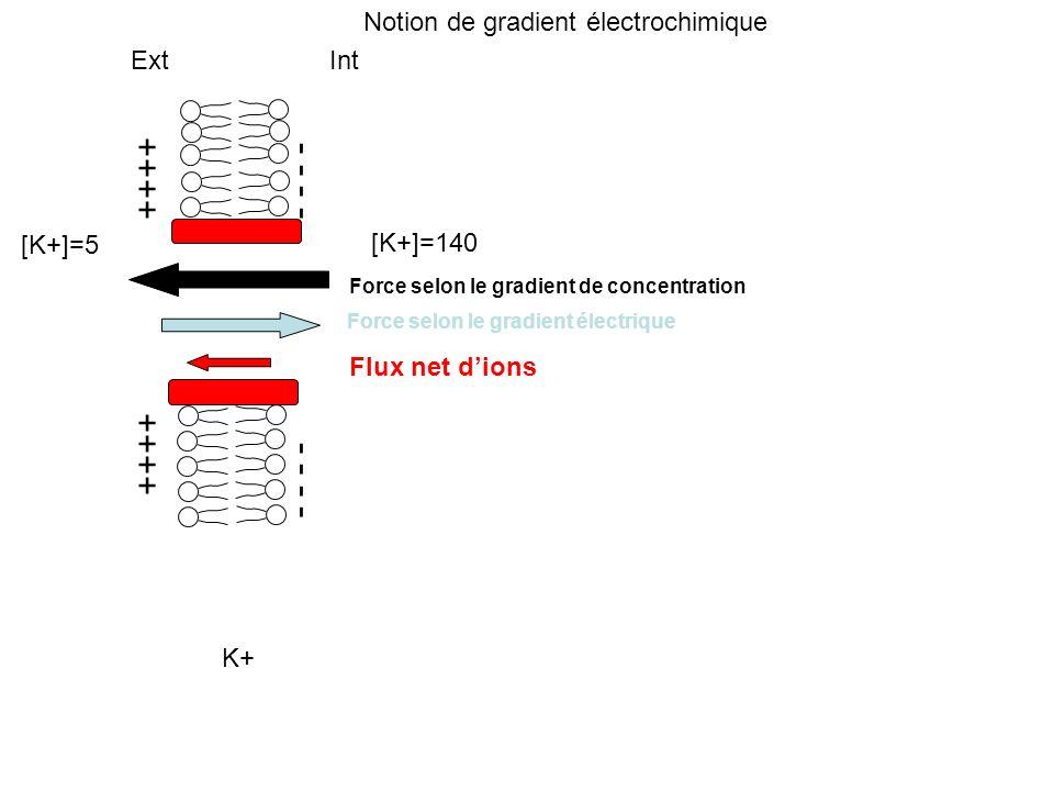 ++++ - - - - Ext Int [K+]=5 [K+]=140 Force selon le gradient de concentration Force selon le gradient électrique Flux net dions K+ Notion de gradient