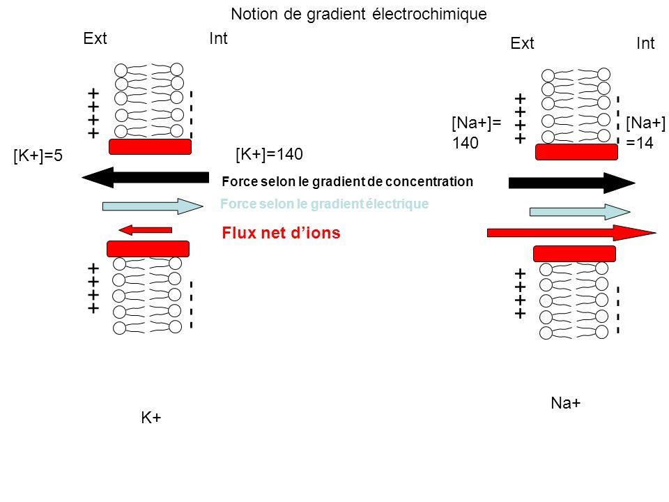 ++++ - - - - Ext Int [K+]=5 [K+]=140 Force selon le gradient de concentration Force selon le gradient électrique Flux net dions K+ ++++ - - - - Ext In