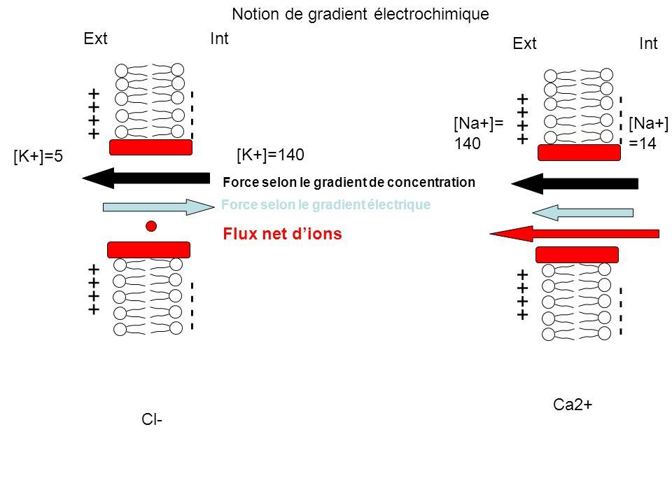 ++++ - - - - Ext Int [K+]=5 [K+]=140 Force selon le gradient de concentration Force selon le gradient électrique Flux net dions Cl- ++++ - - - - Ext I