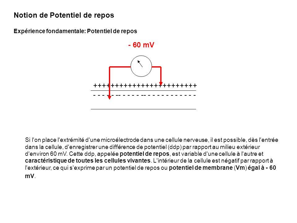 +58 0 -60 -84 Potentiel de repos t Hyperpolarisation Dépolarisation Dépend de louverture des canaux Du nombre et de la probabilité douverture des canaux Et de la concentration ionique de part et dautre de la membrane Notion de variation de potentiel