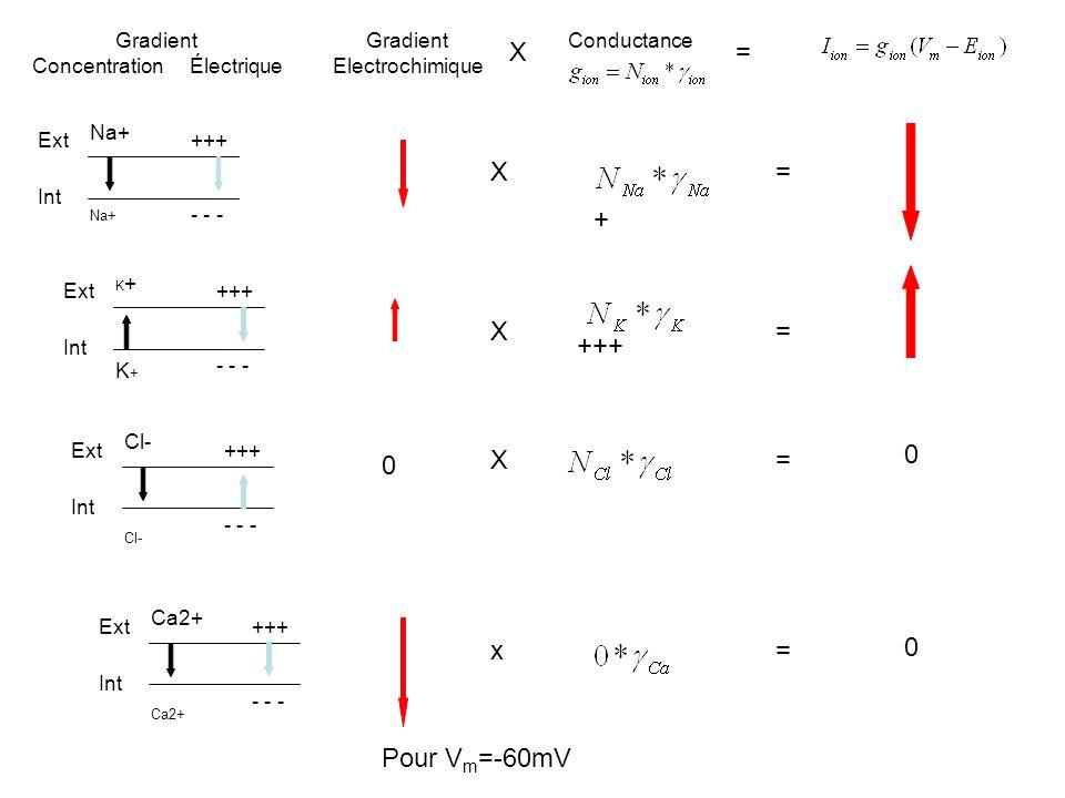 Ext Int Na+ +++ - - - Gradient Concentration Électrique Gradient Electrochimique Conductance X= Ext Int K+K+K+K+ +++ - - - Ext Int Cl- +++ - - - 0 0 E