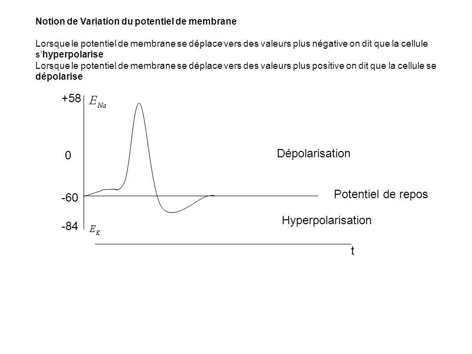 Notion de Variation du potentiel de membrane Lorsque le potentiel de membrane se déplace vers des valeurs plus négative on dit que la cellule shyperpo