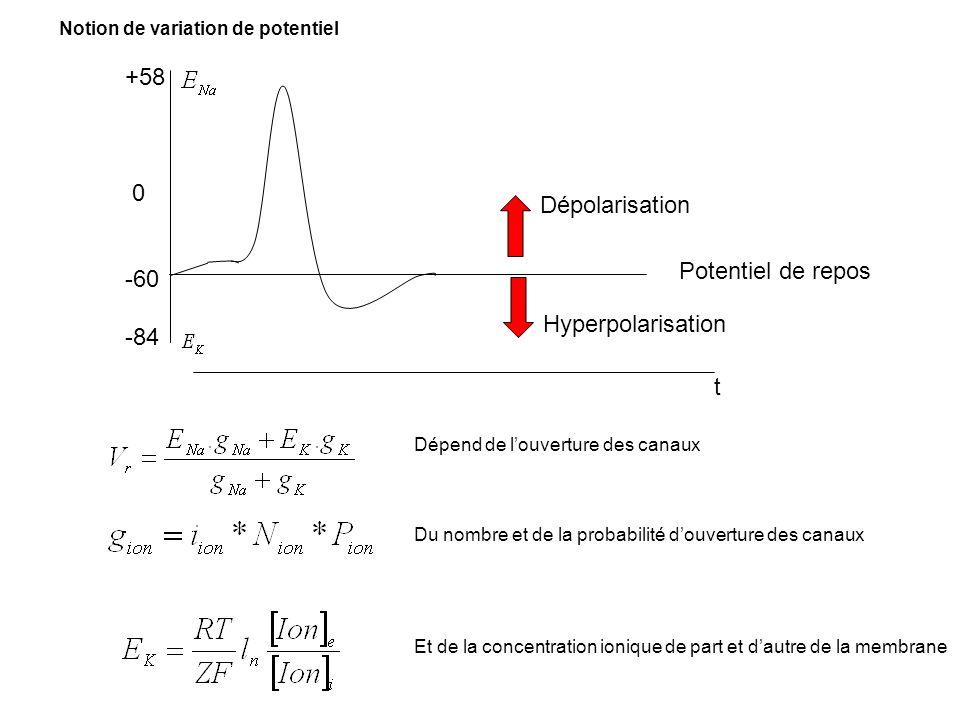 +58 0 -60 -84 Potentiel de repos t Hyperpolarisation Dépolarisation Dépend de louverture des canaux Du nombre et de la probabilité douverture des cana