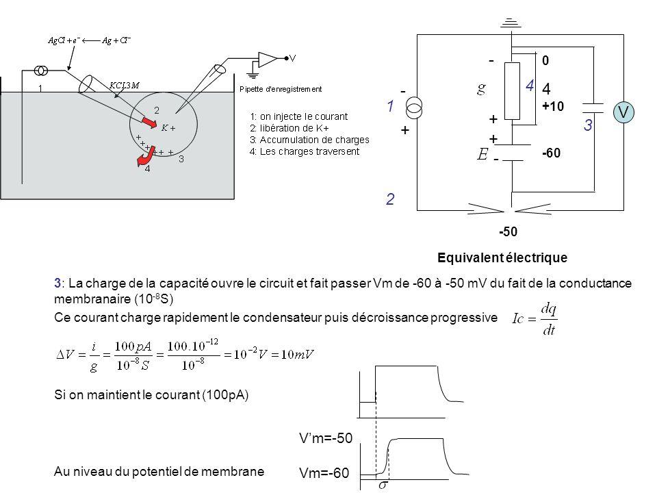 V -+-+ - + - 0 +10 -60 -50 1 2 3 4 4 Equivalent électrique 3: La charge de la capacité ouvre le circuit et fait passer Vm de -60 à -50 mV du fait de l