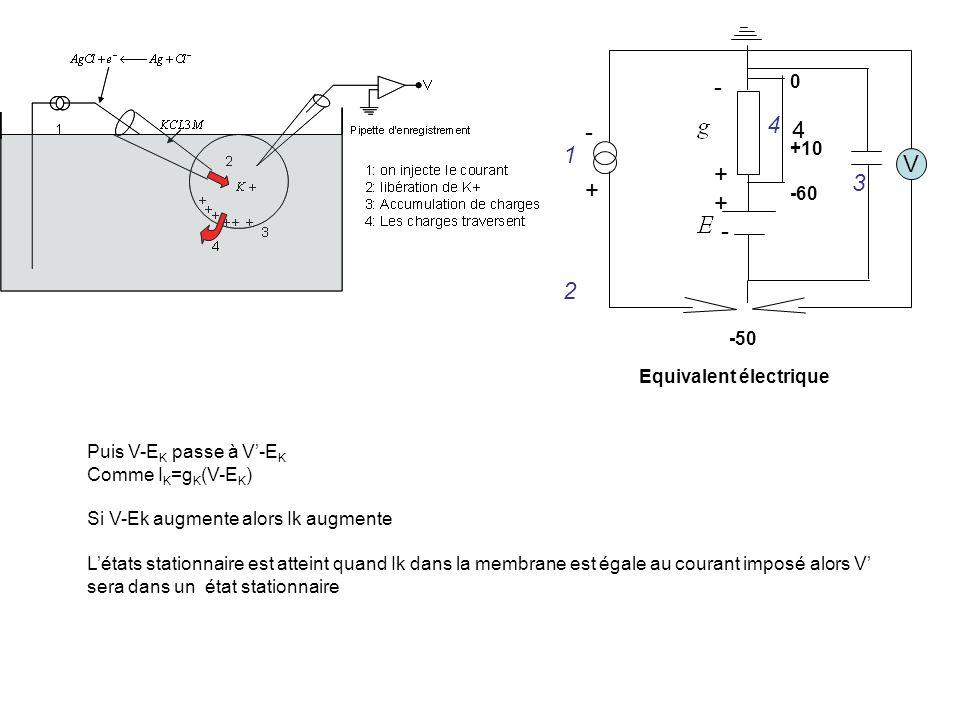 V -+-+ - + - 0 +10 -60 -50 1 2 3 4 4 Equivalent électrique Puis V-E K passe à V-E K Comme I K =g K (V-E K ) Si V-Ek augmente alors Ik augmente Létats