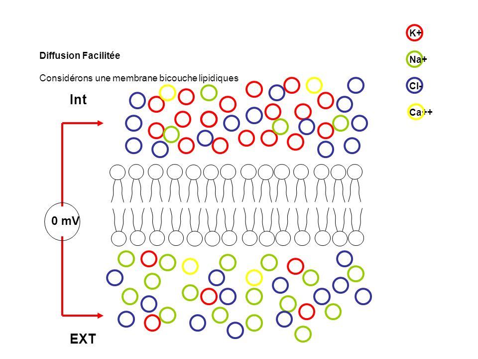 Diffusion Facilitée Considérons une membrane bicouche lipidiques On insère un canal sélectif au K+ fermé dans un premier temps ++++ - - - - K+ Na+ Ca++ Cl- Aucune différence de potentiel nest mesurée 0 mV Int EXT