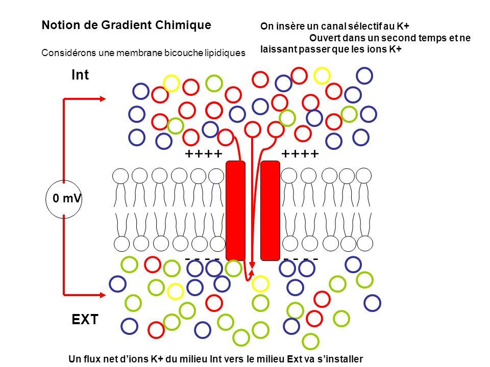 --- +++ +++ Déficit de charge + Excès de charges + Création dun champ électrique et donc dune force électrostatique qui sopposent au flux de K+ Accumulation des Cl- sur la membrane Notion de Gradient électrique