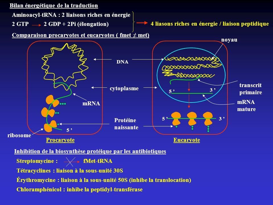 Bilan énergétique de la traduction Aminoacyl-tRNA : 2 liaisons riches en énergie 2 GTP 2 GDP + 2Pi (élongation) 4 liasons riches en énergie / liaison
