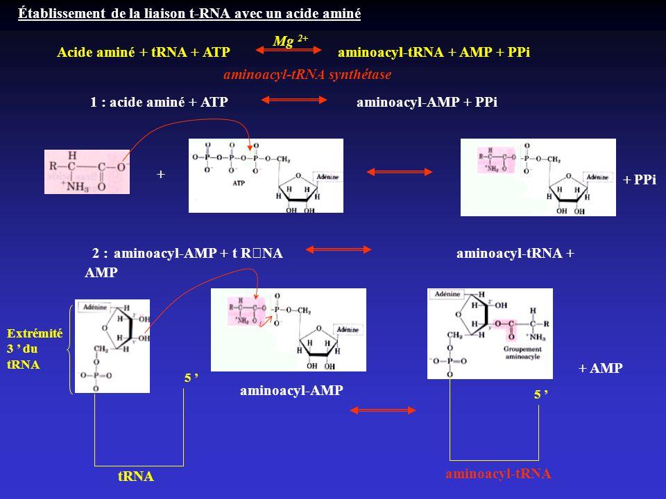 Établissement de la liaison t-RNA avec un acide aminé Acide aminé + tRNA + ATP aminoacyl-tRNA + AMP + PPi Mg 2+ aminoacyl-tRNA synthétase 1 : acide am