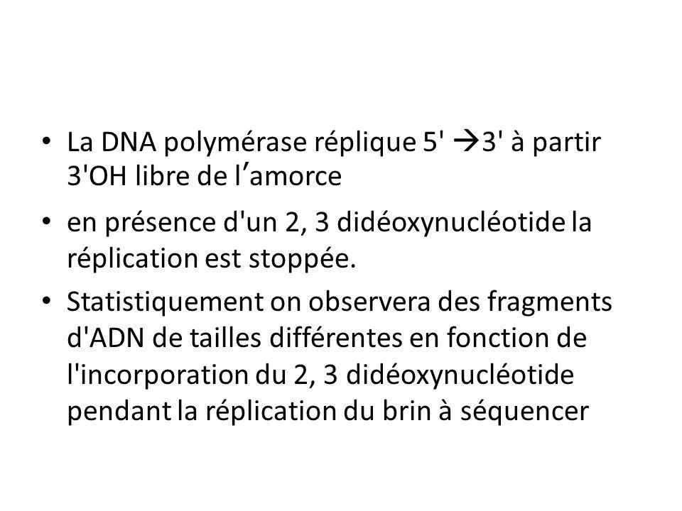 La DNA polymérase réplique 5' 3' à partir 3'OH libre de lamorce en présence d'un 2, 3 didéoxynucléotide la réplication est stoppée. Statistiquement on