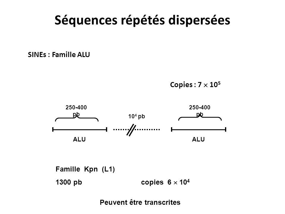 Séquences répétés dispersées SINEs : Famille ALU Copies : 7 10 5 ALU 10 4 pb 250-400 pb Famille Kpn (L1) 1300 pb copies 6 10 4 Peuvent être transcrite