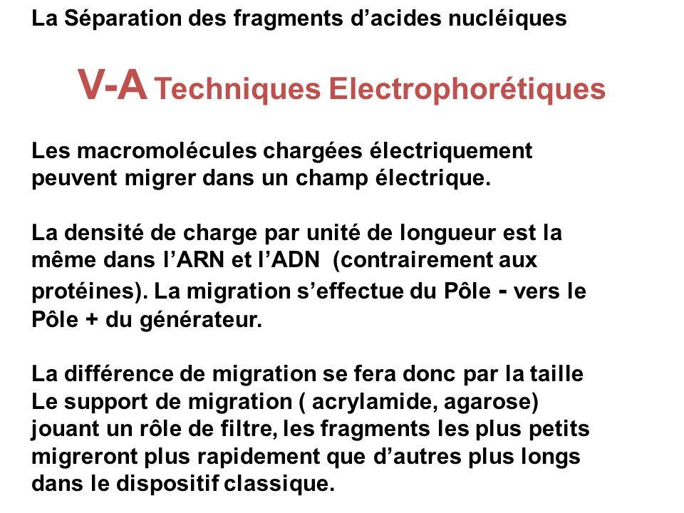 La Séparation des fragments dacides nucléiques V-A Techniques Electrophorétiques Les macromolécules chargées électriquement peuvent migrer dans un cha
