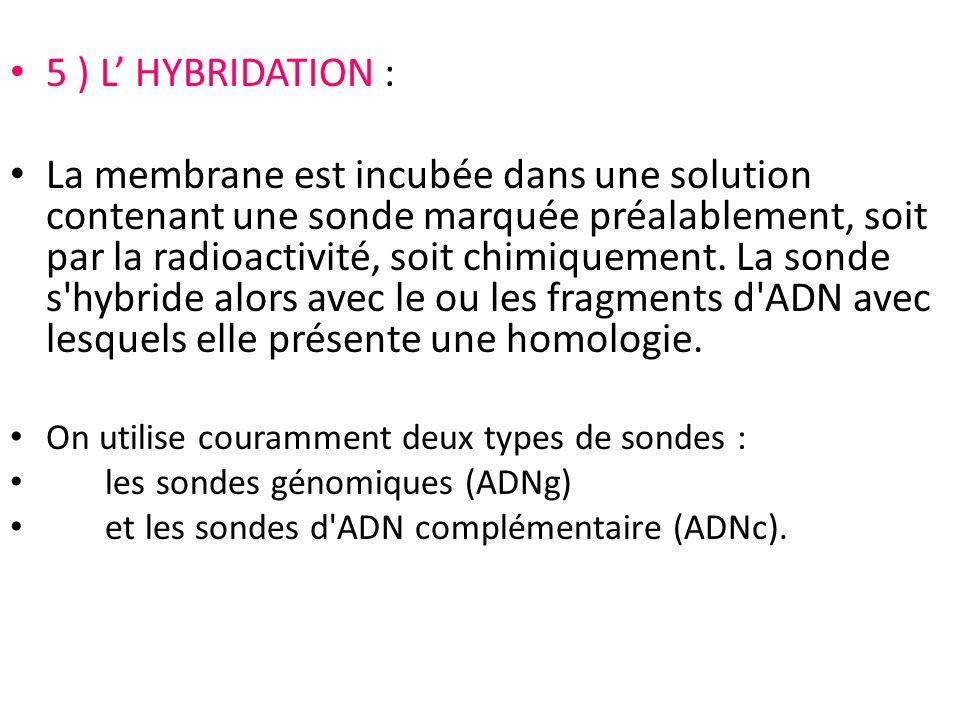 5 ) L HYBRIDATION : La membrane est incubée dans une solution contenant une sonde marquée préalablement, soit par la radioactivité, soit chimiquement.