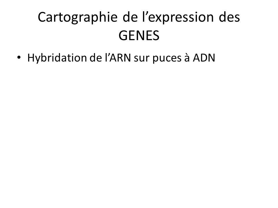 Cartographie de lexpression des GENES Hybridation de lARN sur puces à ADN