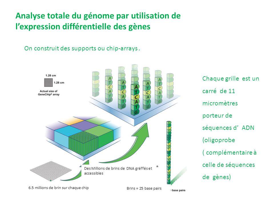 On construit des supports ou chip-arrays. 6.5 millions de brin sur chaque chip Des Millions de brins de DNA gréffés et accessibles Brins = 25 base pai