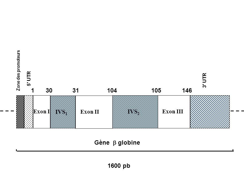 Exon III Exon II IVS 2 IVS 1 1 3130104105146 1600 pb Gène globine Zone des promoteurs 5' UTR 3' UTR Exon I