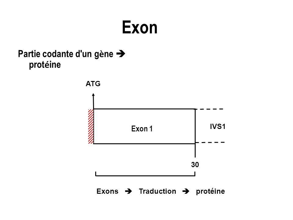 Exon Partie codante d'un g è ne prot é ine Exon 1 ATG IVS1 Exons Traduction protéine 30