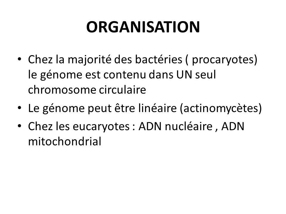ORGANISATION Chez la majorité des bactéries ( procaryotes) le génome est contenu dans UN seul chromosome circulaire Le génome peut être linéaire (acti