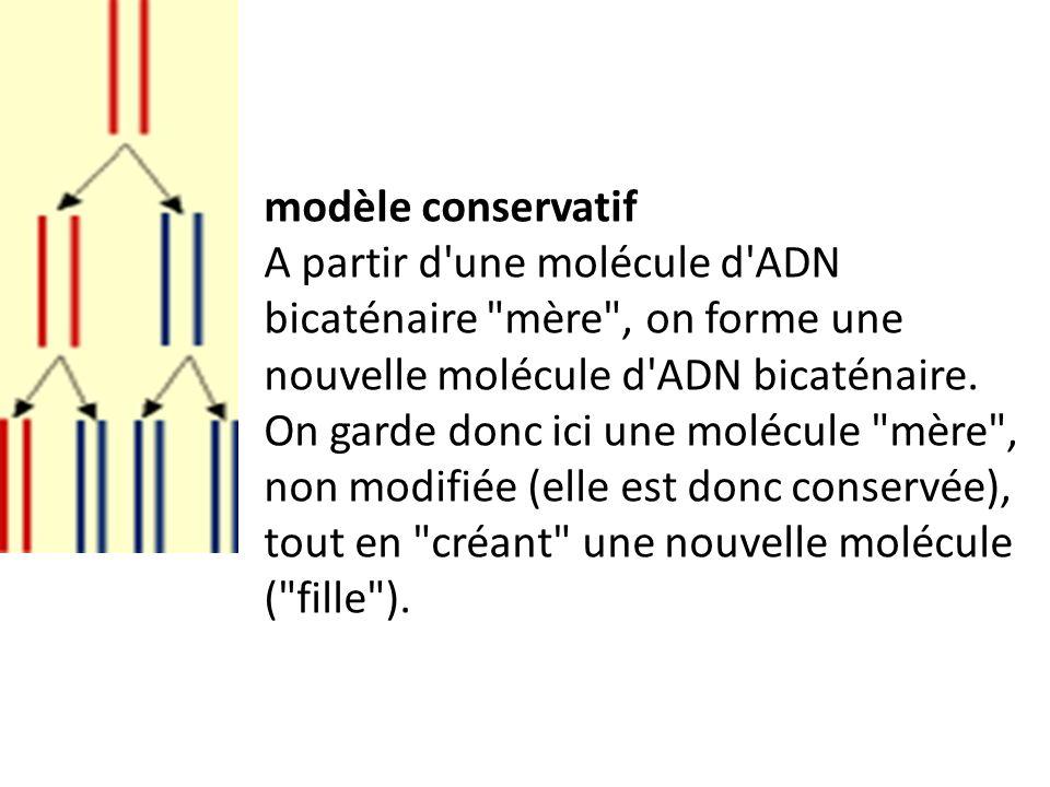 modèle conservatif A partir d'une molécule d'ADN bicaténaire