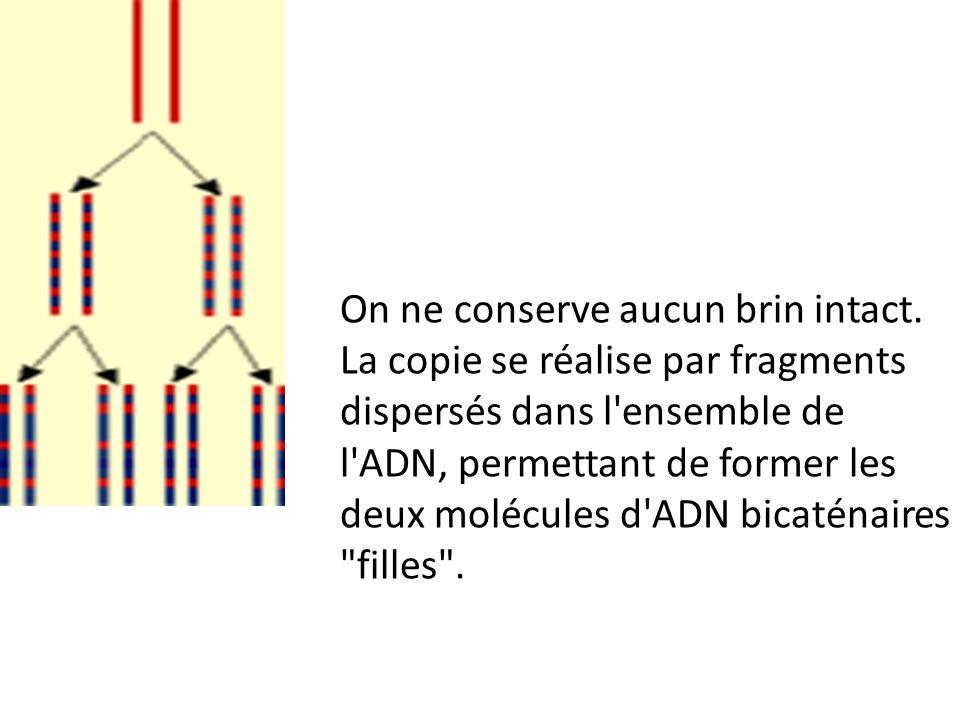 On ne conserve aucun brin intact. La copie se réalise par fragments dispersés dans l'ensemble de l'ADN, permettant de former les deux molécules d'ADN