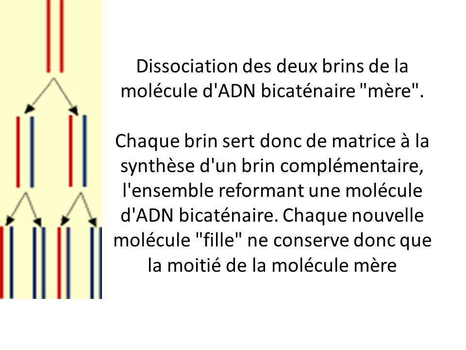 Dissociation des deux brins de la molécule d'ADN bicaténaire