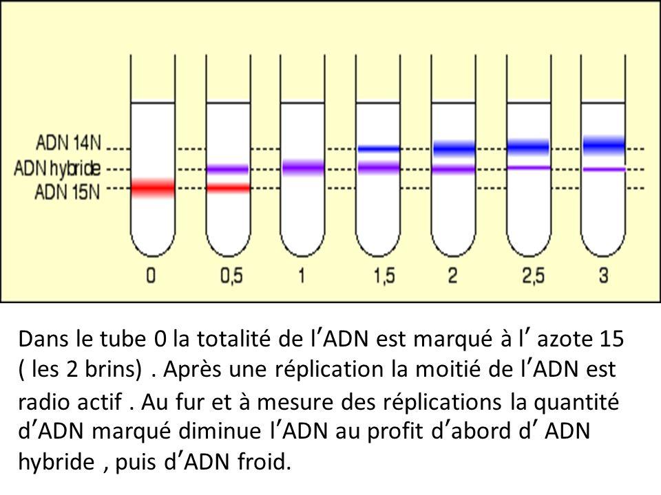 Dans le tube 0 la totalité de lADN est marqué à l azote 15 ( les 2 brins). Après une réplication la moitié de lADN est radio actif. Au fur et à mesure