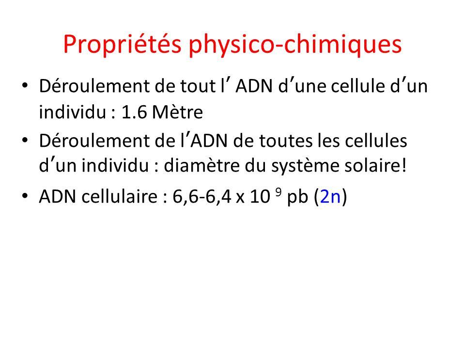 Propriétés physico-chimiques Déroulement de tout l ADN dune cellule dun individu : 1.6 Mètre Déroulement de lADN de toutes les cellules dun individu :