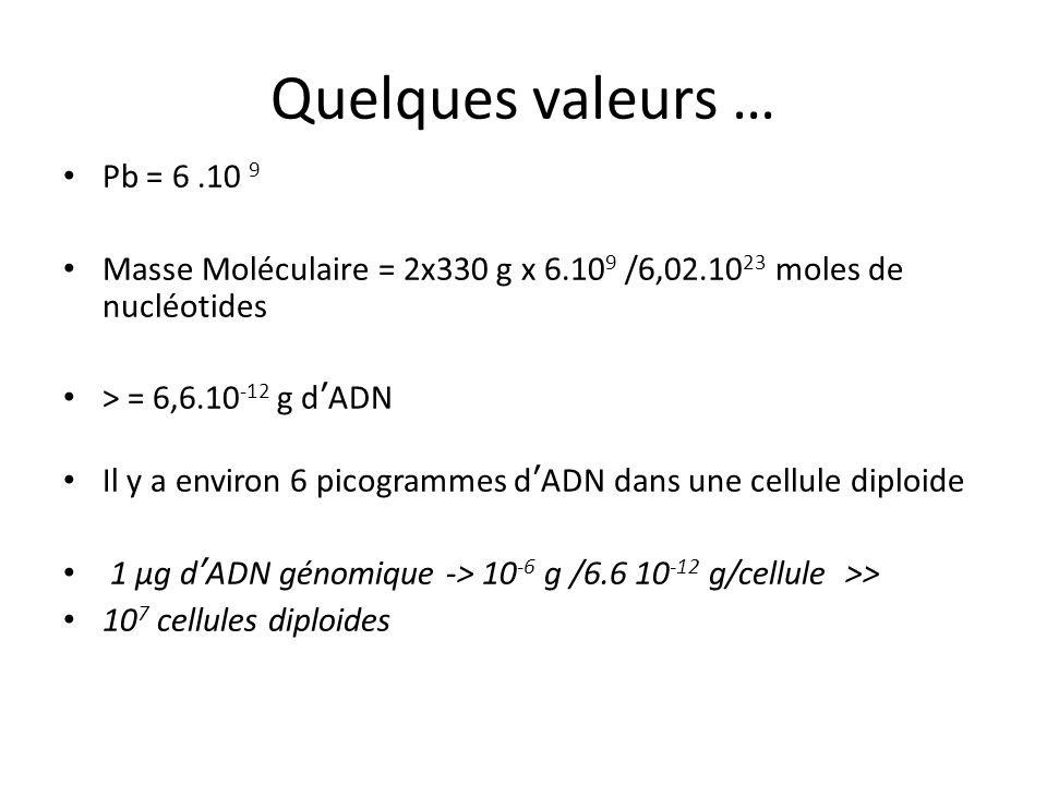 Quelques valeurs … Pb = 6.10 9 Masse Moléculaire = 2x330 g x 6.10 9 /6,02.10 23 moles de nucléotides > = 6,6.10 -12 g dADN Il y a environ 6 picogramme