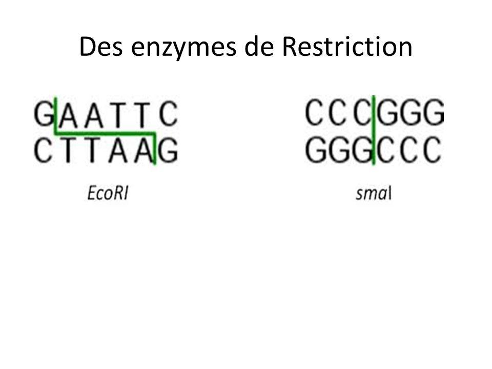 Des enzymes de Restriction