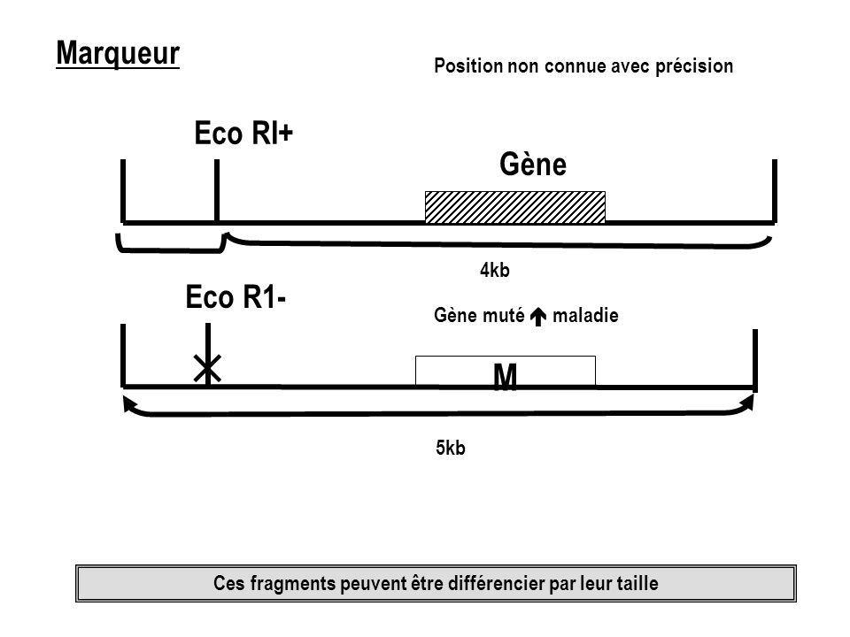 Marqueur Eco RI+ Gène Position non connue avec précision Eco R1- M Gène muté maladie Ces fragments peuvent être différencier par leur taille 5kb 4kb