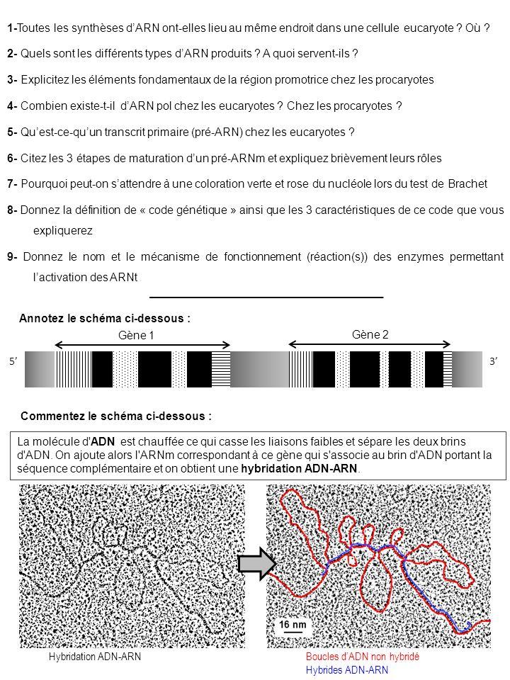 1-Toutes les synthèses dARN ont-elles lieu au même endroit dans une cellule eucaryote ? Où ? 2- Quels sont les différents types dARN produits ? A quoi