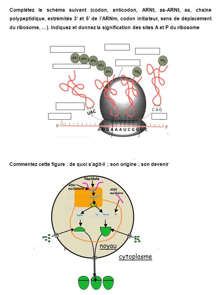 Complétez le schéma suivant (codon, anticodon, ARNt, aa-ARNt, aa, chaîne polypeptidique, extrémités 3 et 5 de lARNm, codon initiateur, sens de déplacement du ribosome, …).