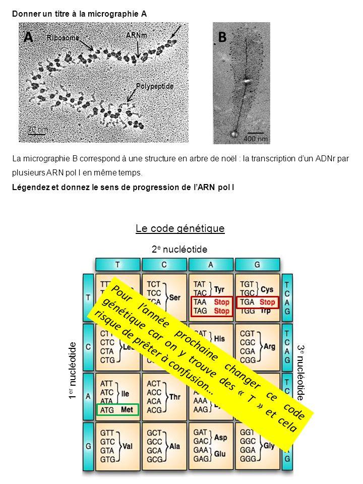 400 nm Donner un titre à la micrographie A AB Le code génétique 1 er nucléotide 2 e nucléotide 3 e nucléotide La micrographie B correspond à une structure en arbre de noël : la transcription dun ADNr par plusieurs ARN pol I en même temps.