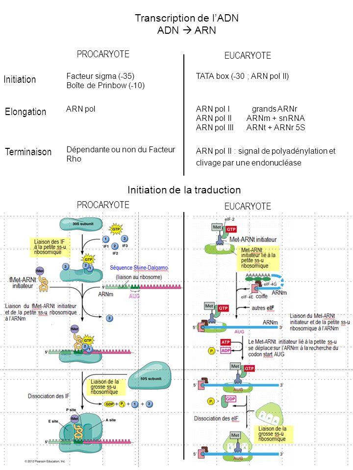 Transcription de lADN ADN ARN PROCARYOTE EUCARYOTE Initiation Elongation Terminaison Facteur sigma (-35) Boîte de Prinbow (-10) ARN pol TATA box (-30 ; ARN pol II) ARN pol I grands ARNr ARN pol II ARNm + snRNA ARN pol III ARNt + ARNr 5S Dépendante ou non du Facteur Rho ARN pol II : signal de polyadénylation et clivage par une endonucléase Initiation de la traduction PROCARYOTE EUCARYOTE