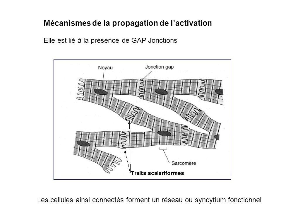 Mécanismes de la propagation de lactivation Elle est lié à la présence de GAP Jonctions Les cellules ainsi connectés forment un réseau ou syncytium fo