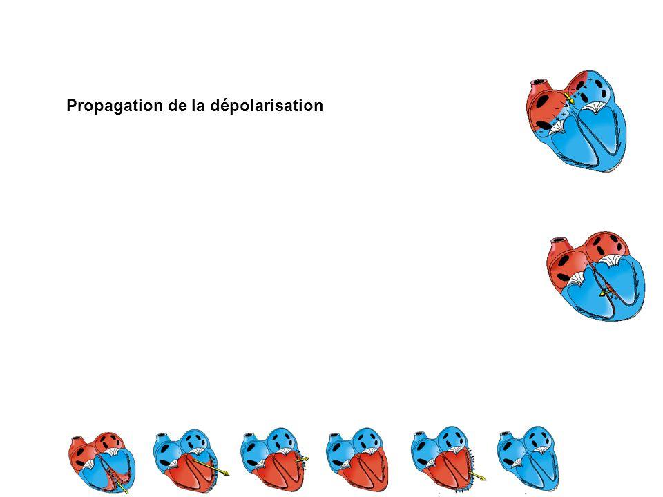 Propagation de la dépolarisation