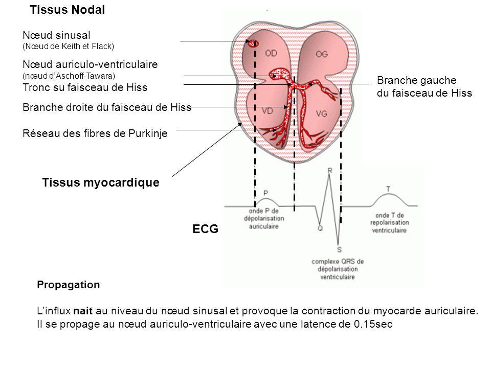 Nœud sinusal (Nœud de Keith et Flack) Nœud auriculo-ventriculaire (nœud dAschoff-Tawara) Tronc su faisceau de Hiss Branche droite du faisceau de Hiss