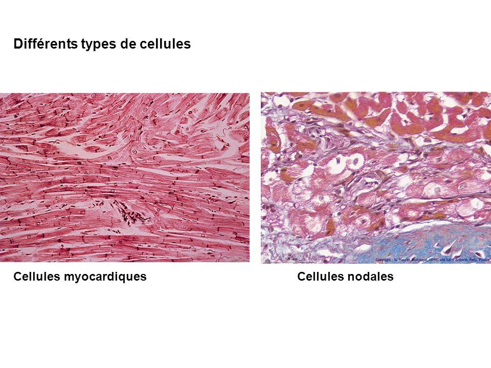 Cellules myocardiques Cellules nodales Différents types de cellules